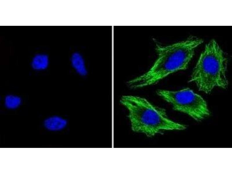 Immunofluorescence (IF) image for anti-TUBB antibody (Tubulin, beta) (N-Term) (ABIN4284184)
