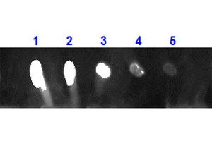 Image no. 1 for Rabbit anti-Monkey IgG antibody (DyLight 680) - Preadsorbed (ABIN6698968)