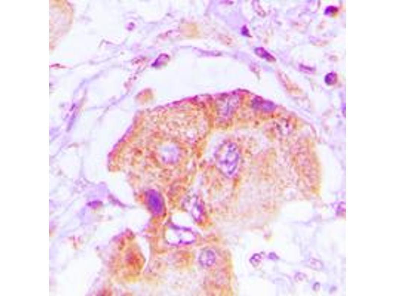 Image no. 3 for anti-EPS8-Like 2 (EPS8L2) (N-Term) antibody (ABIN2707498)