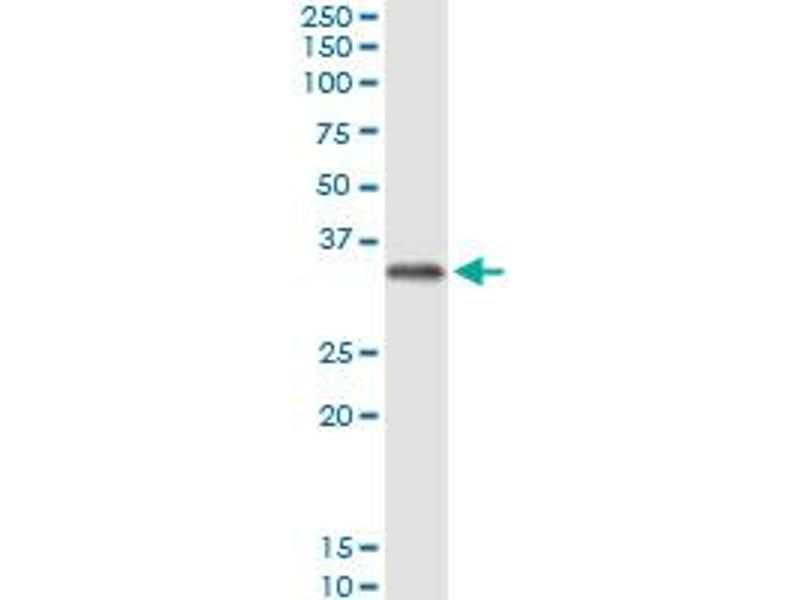 Immunoprecipitation (IP) image for anti-FCN2 Antikörper (Ficolin (Collagen/fibrinogen Domain Containing Lectin) 2 (Hucolin)) (AA 1-313) (ABIN515579)
