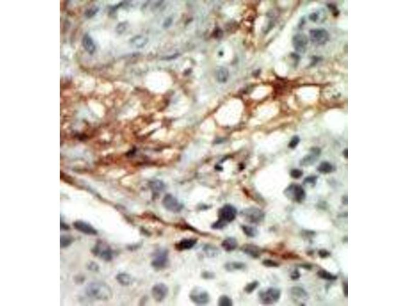 Immunohistochemistry (Paraffin-embedded Sections) (IHC (p)) image for anti-Protein Kinase, AMP-Activated, beta 2 Non-Catalytic Subunit (PRKAB2) (N-Term) antibody (ABIN359114)