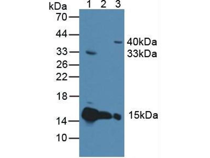 Western Blotting (WB) image for anti-Cytochrome C, Somatic (CYCS) (AA 5-100) antibody (ABIN1077973)