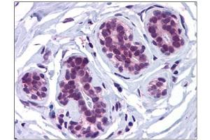 Image no. 2 for anti-Autophagy Related 13 (ATG13) (C-Term) antibody (ABIN784056)