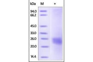 Image no. 1 for Vascular Endothelial Growth Factor (VEGF) (AA 27-190) (Active) protein (ABIN2181901)
