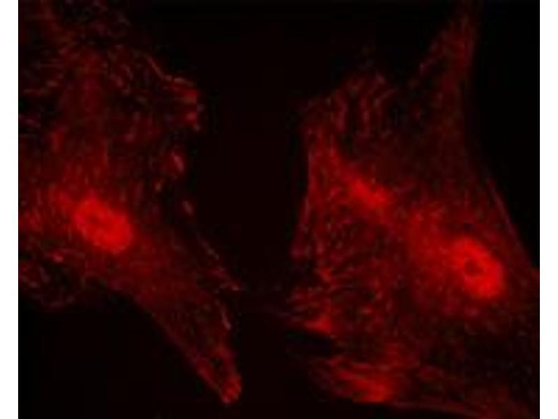 Image no. 1 for anti-Paxillin (PXN) (pSer83) antibody (ABIN548479)