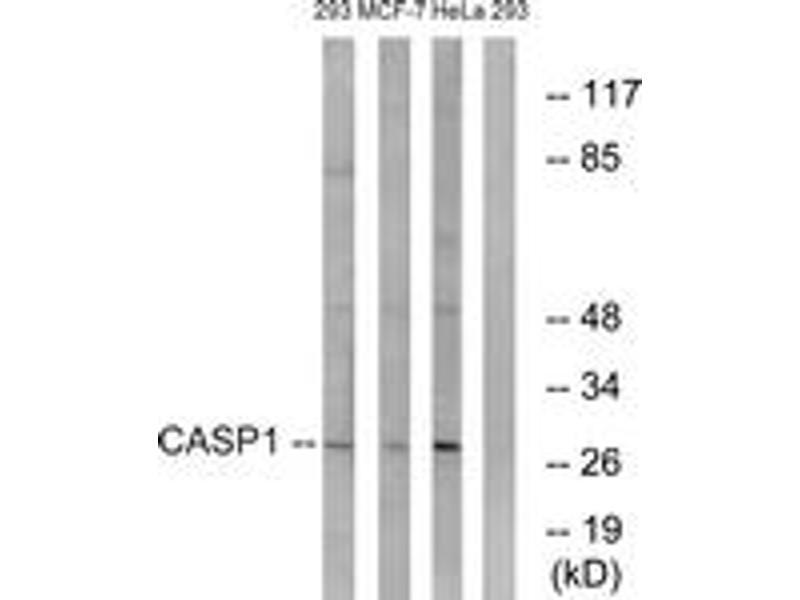 Western Blotting (WB) image for anti-Caspase 1 (CASP1) (AA 342-391) antibody (ABIN1532666)