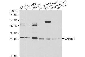 Image no. 1 for anti-Calpain, Small Subunit 1 (CAPNS1) antibody (ABIN6137928)