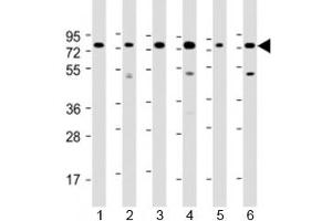 Image no. 1 for anti-Poly(A) Binding Protein, Cytoplasmic 3 (PABPC3) (AA 84-117) antibody (ABIN5647827)