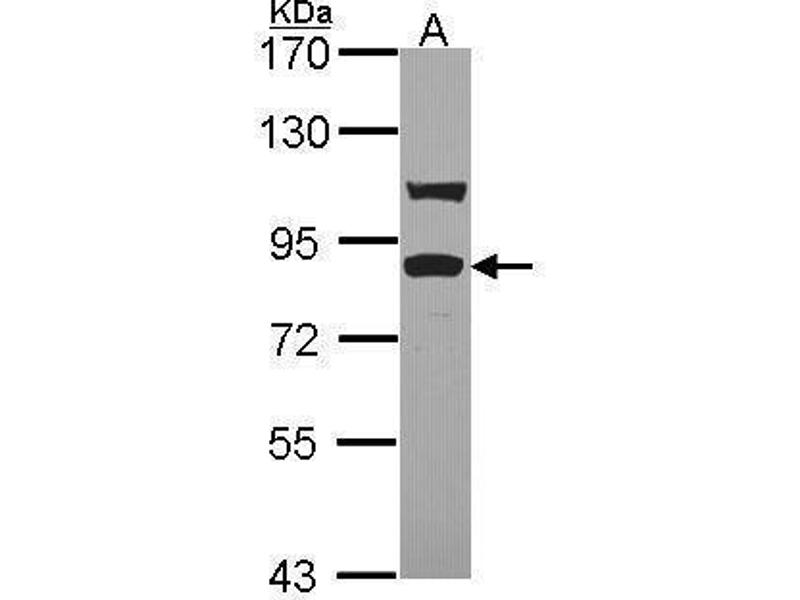 Western Blotting (WB) image for anti-Toll-Like Receptor Adaptor Molecule 1 (TICAM1) (C-Term) antibody (ABIN2855929)