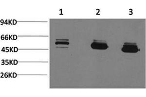 Image no. 1 for anti-Mitochondrial Calcium Uptake 1 (MICU1) antibody (ABIN5960730)
