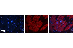 Image no. 6 for anti-GTPase Activating Protein (SH3 Domain) Binding Protein 1 (G3BP1) (N-Term) antibody (ABIN2780222)