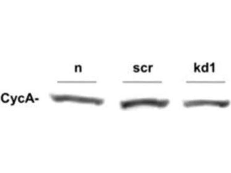 Western Blotting (WB) image for anti-Cyclin A2 (CCNA2) antibody (ABIN269752)