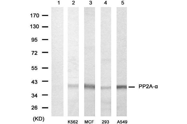 Western blot analysis of extracts from various cells using PP2A-αantibody (E021405, Lane 1, 2, 3, 4 and 5).