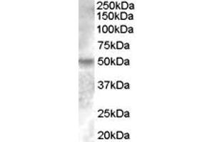 image for anti-Estrogen-Related Receptor gamma (ESRRG) (Internal Region) antibody (ABIN334393)