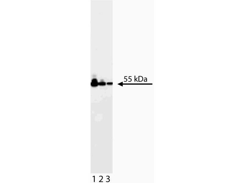 Western Blotting (WB) image for anti-ATP Synthase Subunit beta (AtpB) (AA 428-539) antibody (ABIN968859)
