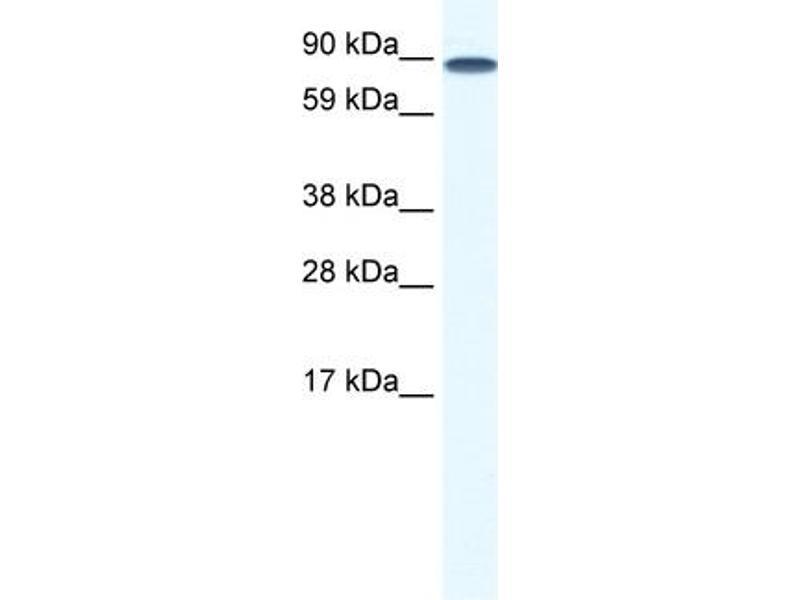 Western Blotting (WB) image for anti-TCF12 Antikörper (Transcription Factor 12) (N-Term) (ABIN2774659)