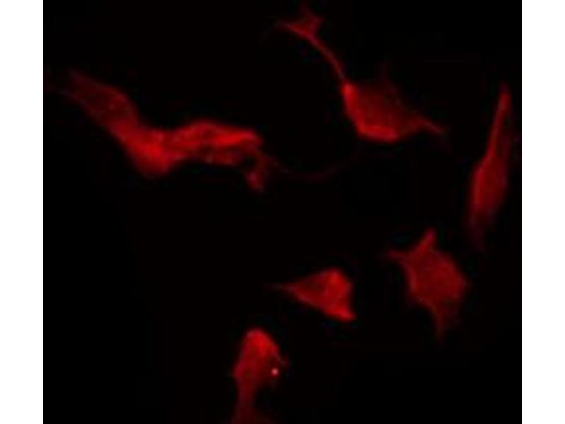 Immunofluorescence (fixed cells) (IF/ICC) image for anti-Neurexin 1 (NRXN1) antibody (ABIN6263607)