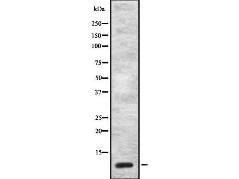 Western Blotting (WB) image for anti-Cholecystokinin (CCK) antibody (ABIN6260532)