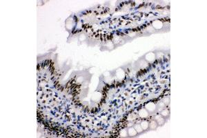 Image no. 3 for anti-Histone Deacetylase 3 (HDAC3) (AA 411-428), (C-Term) antibody (ABIN3044210)