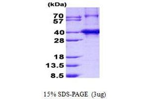 Image no. 1 for Canopy 3 Homolog (Zebrafish) (CNPY3) protein (His tag) (ABIN1098560)