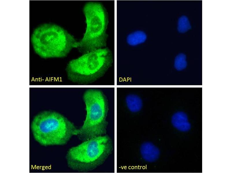 Immunofluorescence (IF) image for anti-Apoptosis-Inducing Factor, Mitochondrion-Associated, 1 (AIFM1) (C-Term) antibody (ABIN2630015)