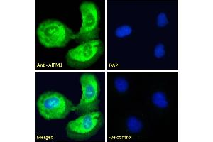 Image no. 3 for anti-Apoptosis-Inducing Factor, Mitochondrion-Associated, 1 (AIFM1) (C-Term) antibody (ABIN2630015)