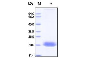 Image no. 1 for Ephrin A4 (EFNA4) (AA 26-171) protein (His tag) (ABIN2181028)