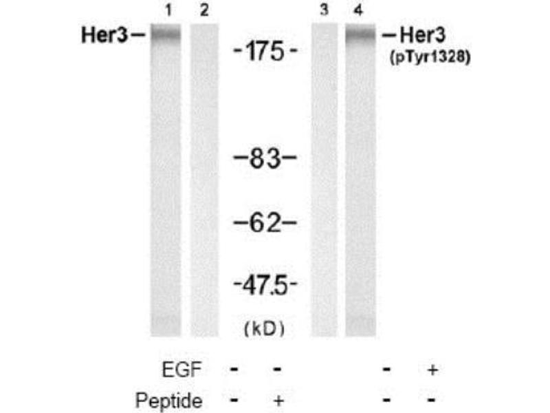 Western Blotting (WB) image for anti-V-Erb-B2 Erythroblastic Leukemia Viral Oncogene Homolog 3 (Avian) (ERBB3) (pTyr1328) antibody (ABIN316283)