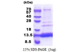 Image no. 1 for C-X(9)-C Motif Containing 4 Homolog (S. Cerevisiae) (CMC4) (AA 1-68) protein (His tag) (ABIN5853372)