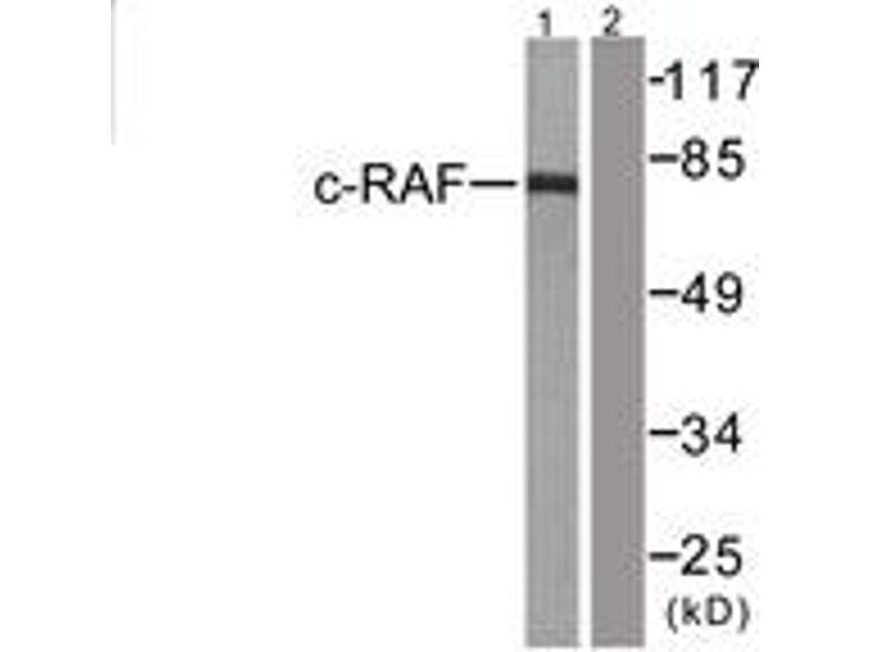 Western Blotting (WB) image for anti-V-Raf-1 Murine Leukemia Viral Oncogene Homolog 1 (RAF1) (AA 11-60) antibody (ABIN1532586)