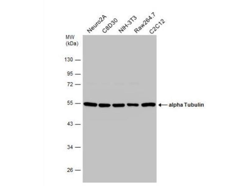 Western Blotting (WB) image for anti-Tubulin, alpha 1B (TUBA1B) (Center) antibody (ABIN4363528)