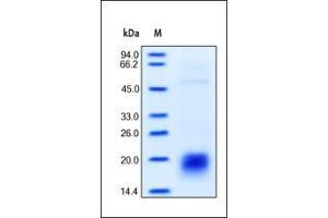 Image no. 1 for CD3e Molecule, epsilon (CD3-TCR Complex) (CD3E) (AA 23-126) (Active) protein (His tag) (ABIN2180778)