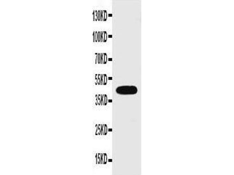 Western Blotting (WB) image for anti-GJA1 antibody (Gap Junction Protein, alpha 1, 43kDa) (AA 351-367) (ABIN3043758)