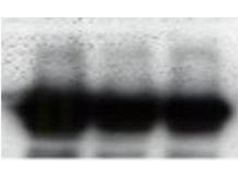 image for anti-Green Fluorescent Protein (GFP) antibody (ABIN346938)