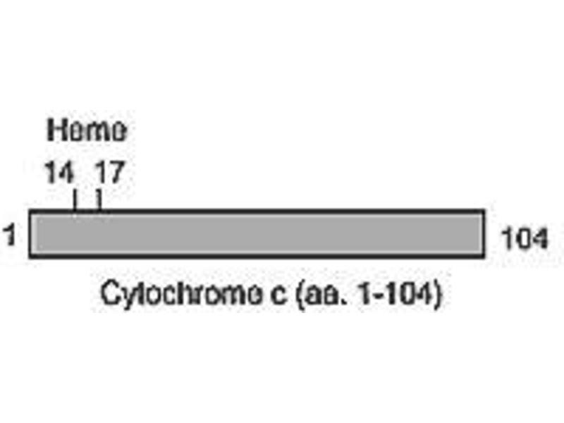 image for anti-Cytochrome C, Somatic (CYCS) antibody (ABIN187410)
